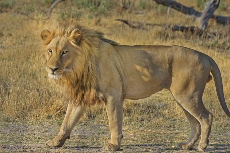 lion-wildcat-safari-africa-47036.jpeg